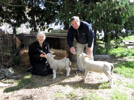 Fedding lambs at Totara Estate
