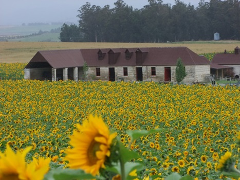 Sunflowers at Totara Estate