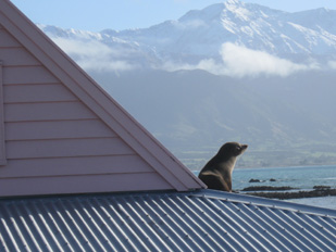 Seal on roof at Fyffe House, Kaikoura
